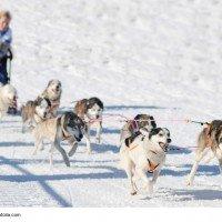 Schlittenhunderennen ein toller Sport