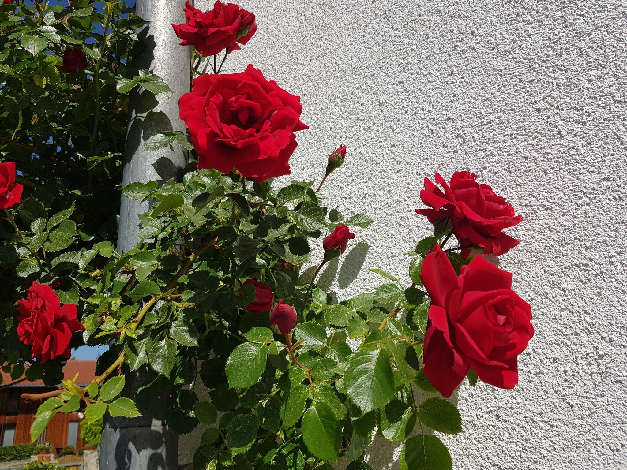 Tölzer rosentage